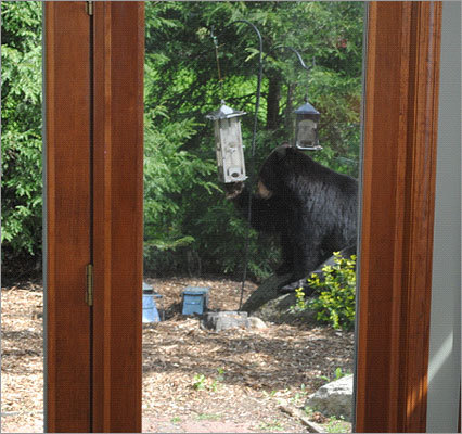 Several bears have been reported to be eyeing bird feeders in backyards.