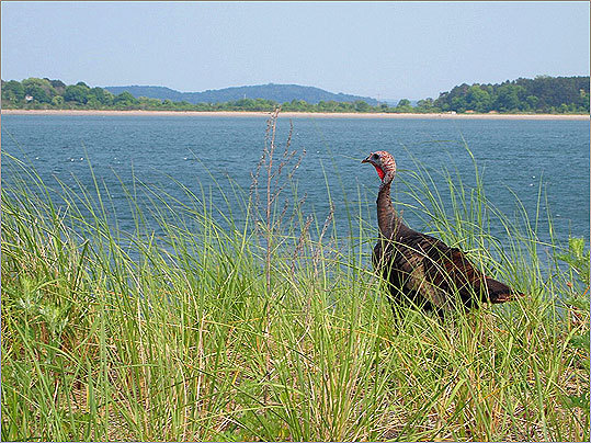 A wild turkey stalks along the edge of Spectacle Island's beach, little disturbed by the presence of humans. No effort has been made to repopulate the island with animals since its transformation from landfill to park, but many species of birds have made their way to the island, along with a few mammals, including a raccoon.