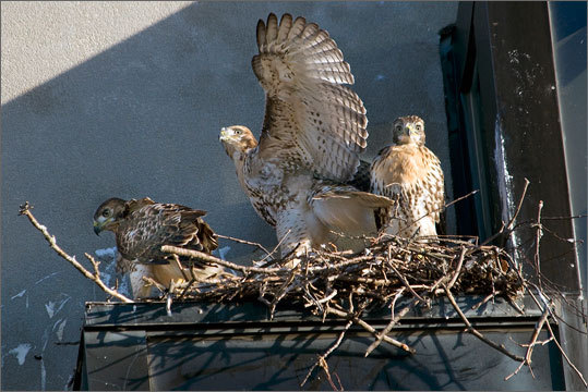 The hawks' nest is on Fresh Pond Parkway.