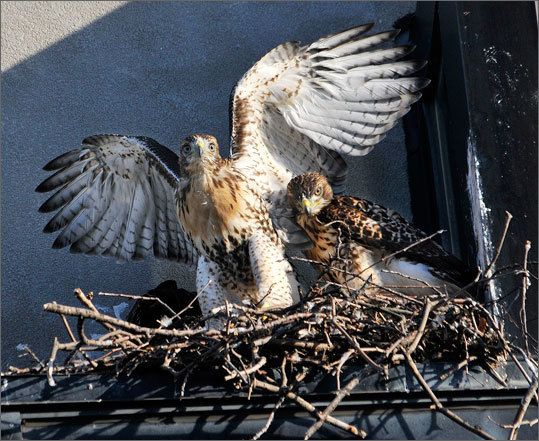 Onlookers last year named the two adult hawks Ruby and Buzz, and their three offspring were named Lucy, Larry, and Lucky by the photographers who documented their every move.