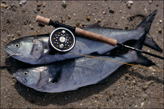 Bluefish will eat anything alive, including their young and their siblings. During a ''blues blitz,'' when so many fish swarm around the rip they make the water froth, some anglers say you could throw an old shoe in the water and a blue would bite. Read: A blue heaven of razor-sharp sport