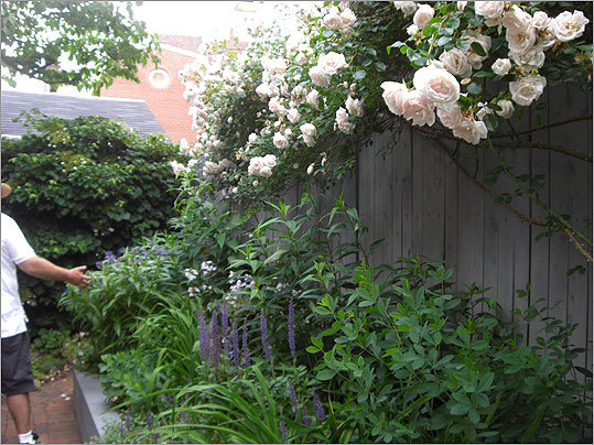 "This Avon Place garden was built on the foundations of an 1840s row house that was destroyed in a fire 50 years. A ""New Dawn"" rose climbs along the fence, with other plants including a Siberian iris, cornflowers, and day lilies."