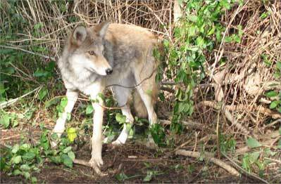 Tracking Belmont's coyotes - by laptop