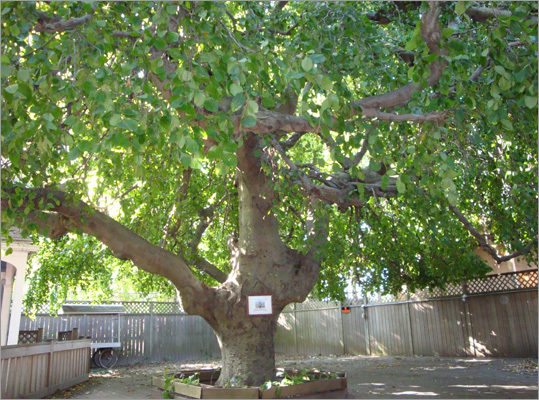 Weeping beech tree Hemmed into an alley in Hyannis is a tree of colossal proportions whose massive canopy will keep you dry while you marvel at its size. It is purported to date to 1776. But whether it once sheltered those seeking liberty or those clinging to loyalty is a matter of debate. 599 Main St. Diane Speare Triant can be reached at dtriant@gmail.com .