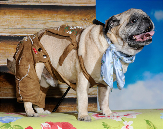 Pug 'Mr. Joe' wore traditional Bavarian Lederhosen during the so-called Mops-Party, a warmup for Oktoberfest.