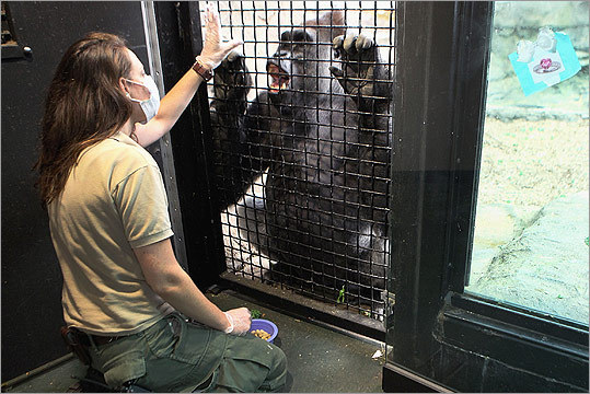 Brandi Baitchman, shown here with Kit, is among a small band of keepers who work with the gorillas at Franklin Park Zoo in Boston.