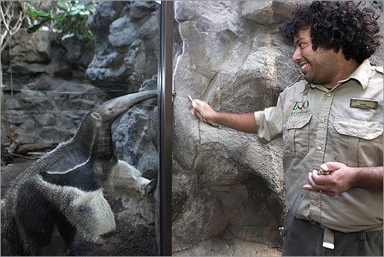 "Dan McLaughlin's other duties at the zoo include feeding giant anteater Jockamo. ""That saliva is really sticky,'' noted Baitchman. ""When we give him bowls, we have to soak them for a while afterward. That stuff is like plaster.''"