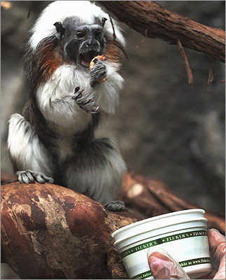 McLaughlin feeds mealworms to a cottontop tamarin, a small monkey that weighs less than a pound. McLaughlin has a degree in evolution and ecology from the University of Rochester in New York. He was taking an array of preliminary science classes when he realized he didn't want to work in a laboratory for the rest of his life - that led to an internship at the zoo.