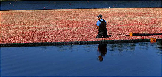 The berries are harvested once a year in the early fall, usually between mid-September and early November). The farmers flood the bogs with water, and since cranberries contain little air-filled pockets, they float. Farmers use booms to corral the berries, which are then lifted out of the bog and into a truck so they can be taken to a processing plant. Chan Ny brings in the berries as cranberries being harvested.