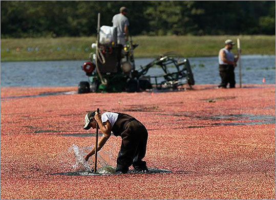 Jeremy Bumpus splashes berries around marking spots for the pickers.