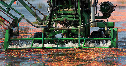 Cranberry farming originated on Cape Cod in the 19th century, and today, the fruit is still the number one food crop in Massachusetts. The Bay State is the second-biggest cranberry producer in the United States, ranking behind only Wisconsin. And now it&#146;s harvest time, and this region&#146;s cranberry growers are hoping for a bountiful crop. They&#146;re also getting ready for their biggest festival of the year, scheduled to take place over the Columbus Day weekend on Oct. 8-9: the eighth annual Cranberry Harvest Celebration in Wareham.