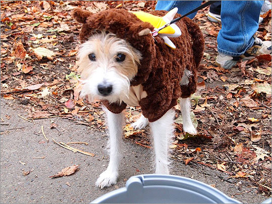 Sparky, a 14-year-old Jack Russell terrier, got dressed up as a monkey, complete with banana, and came to the park with his owner, Jill Lannazzi, who lives in the Back Bay.