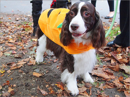 This soulful-eyed Jack-o'-lantern is Emily, an English Springer spaniel who lives in Beacon Hill with Renee Knilans.