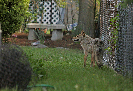 "Don't try to feed coyotes. ""When pets are outside, unsupervised, especially the small ones, sometimes coyotes can view them as a potential food source,"" said Hajduk. At left, a mother coyote faces off with an animal officer in 2007."
