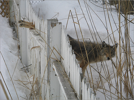 "Rule No. 1: ""Don't let coyotes intimidate you!,'' the Fisheries and Wildlife site says. ''Let the coyote know it is unwelcome in your area.'' At left is a coyote caught in a fence in Salem that police and firefighters managed to set free in February."