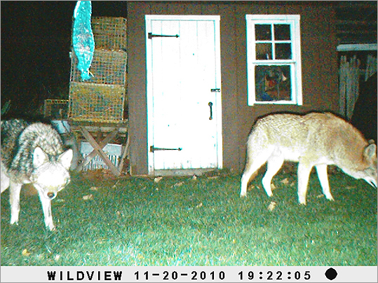 In recent weeks, coyotes have attacked and killed a dog in Newton and in Falmouth. They are frequently spotted in the suburbs and within the city, such as West Roxbury. At left, coyotes spotted in Nahant.