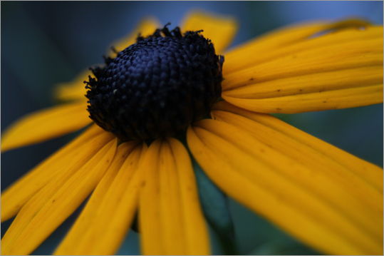 Brian Amici of Berlin won in the under-18 category with his close-up view of a Black-eyed Susan flower.
