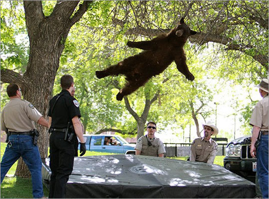 Black bear, black bear The CU Independent caught the perfect shot of a black bear falling out of a tree after it wandered onto the campus of CU-Boulder. He nailed the landing on the mat.
