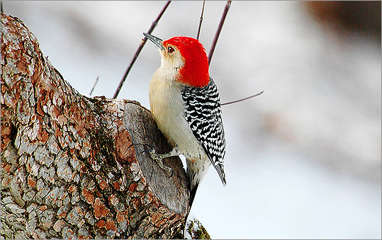 A red-bellied woodpecker.