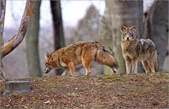 Photographer John Garp spent time at Mount Auburn Cemetery and spotted a pair of coyotes. Have your own set of wildlife photos you would like to share? Submit them here .