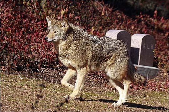 The coyote took part in some mid-morning exercise.