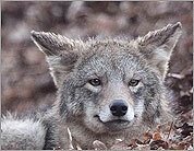 Advice on dealing with encroaching coyotes