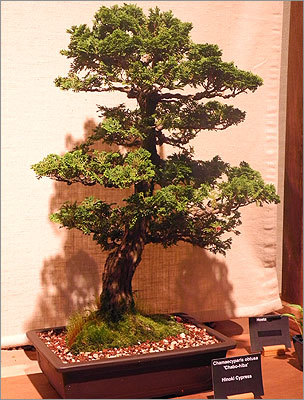 A hinoki cypress in the Natick Bonsai Study Group exhibit.