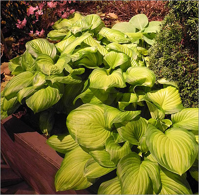 Soucy said hostas (pictured) were featured prominently at the show this year. 'A lot of people have shade, and don't know what to do with it,' said Soucy. 'Hostas are a shade plant, they give a lot of life to a shady area.'