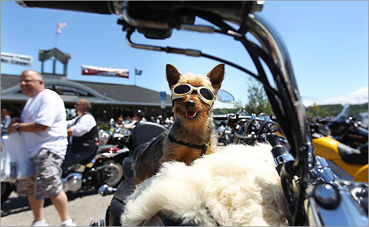 Cavo, a silky terrier, sat on his owner's motorcycle.