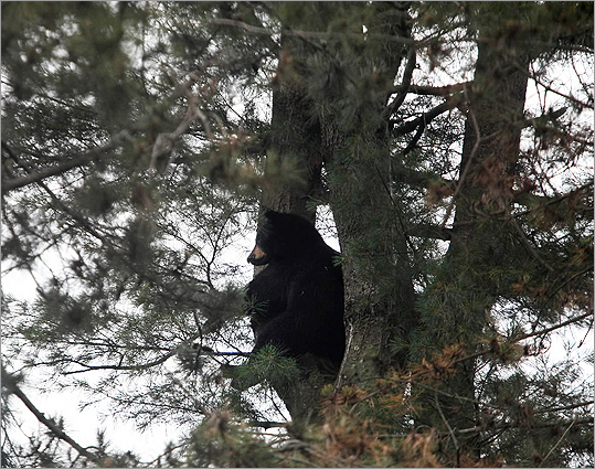 The elusive young, male bear, estimated at about 200 pounds, foiled the first to tranquilize it in the tree.