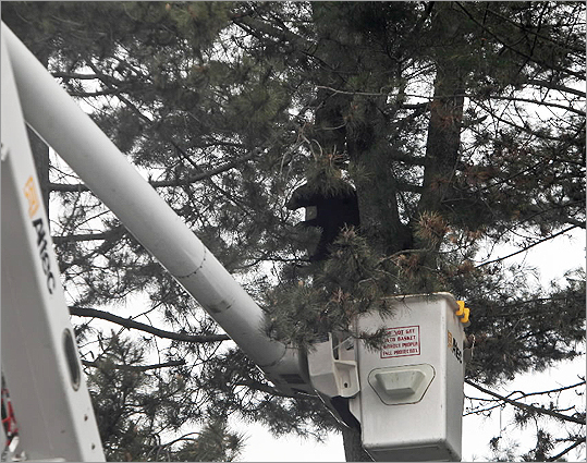 An Environmental Police officer, operating from a cherry picker, shot the bear with a tranquilizer dart when it was an estimated 50 feet up. After being shot, the animal climbed an estimated 30 feet higher, but once the drug took effect, the bear fell to the ground.
