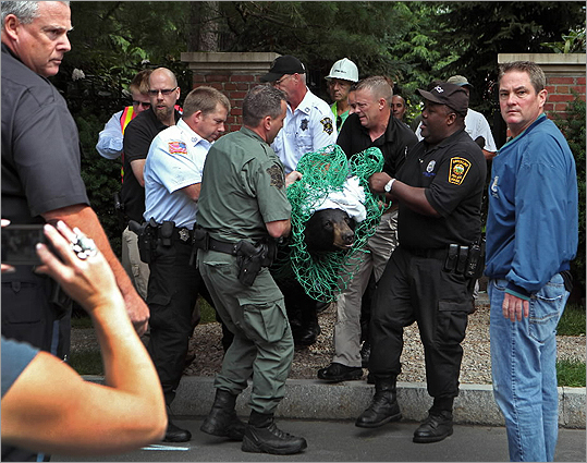 The officials carried the bear out of a yard on Pine Street in Brookline. Its fall from the tree was broken by several branches, and the bear landed on bushes.