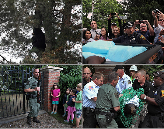 A bear that had climbed a towering pine tree in an upscale neighborhood and was shot with a tranquilizer dart today plummeted some 80 feet, but the animal survived. Read the story.