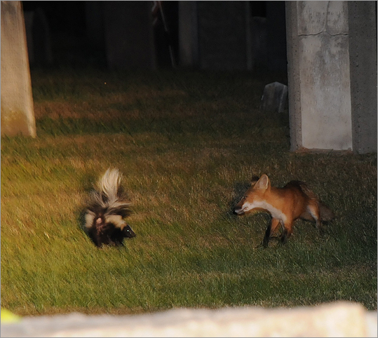 Wellesley police also detailed a showdown between a <a href=' http://www.wellesleypdphoto.com/Fox.html'>skunk and fox. The skunk won.