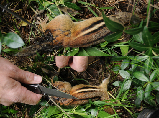 Wellesley police blog posting on the rescue of a chipmunk on June 16.