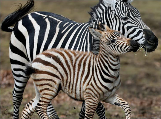 Nemo, a baby zebra born during the winter storm of the same name, was born on February 9th at the Franklin Park Zoo. He is pictured with his mother, Cheyenne. Click through to see more zoo babies from around the world.