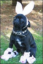Lola the pug belongs to Lynn Matthews from Mansfield.