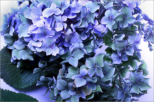 Hydrangeas represent what all relationships need as much as flowers need water: understanding.