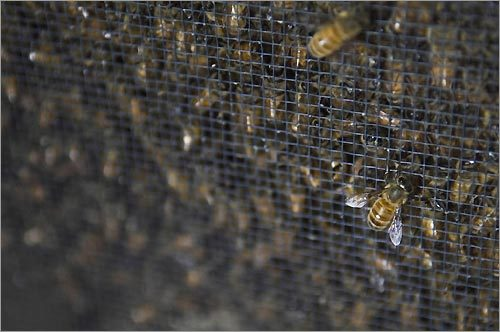 Bees in their cage