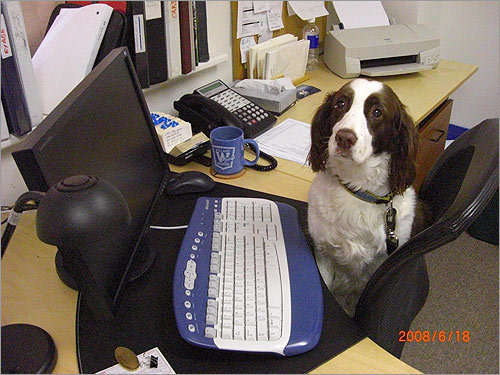 Wendy, a 12-year-old springer spaniel, 'works daily, keeping the office running smoothly. Her tasks include letting folks know when it's time to take lunch, time to go home and time to exercise those carpal tunnel wrists with a therapeutic dog scratch,' writes Joel R Neider.