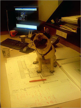 Gladys the pug helps to review some drawings for an upcoming submittal at CBT Architects in Boston.