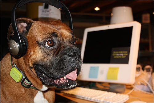 Chopper takes customer service calls on Lincoln Street in Chinatown. 'He comes to work with me on a regular basis,' writes Mitch Fletcher. 'We are only a company of 12 so bringing your canine companion is encouraged.'