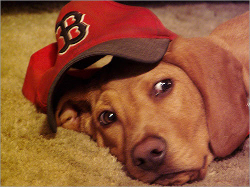 Jim Pistrang of Amherst writes: 'Barley was 3 months old in October 2004. He had never in his life witnessed the Sox losing a playoff series in October, and he wasn't disappointed in 2004! Barley is a hound mix, we found him in August 2004 at the wonderful Sterling Animal Shelter in Sterling.'