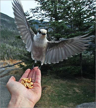Near the Appalachian Mountain Club's Galehead Hut, a gray jay landed on a hiker's hand to take peanuts during a grid hike.