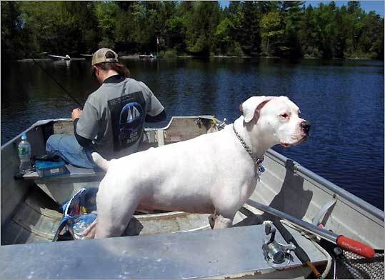Steve, a white boxer, at Moosehead Lake in Maine.