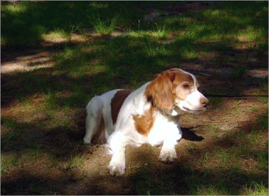 Barry, a brittany spaniel, at his summer cottage in Naples, Maine.