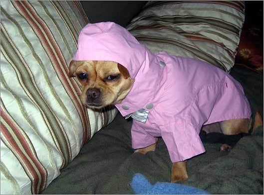 Dece, a Chihuahua, in Lincoln.