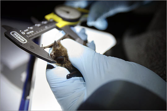 Measuring the length of the forearm of a little brown bat. This research trip to the cave, in Vermont's Taconic Mountains, occurred in late August, when bats were in their swarming phase. The disease strikes during their hibernation period, which is now.