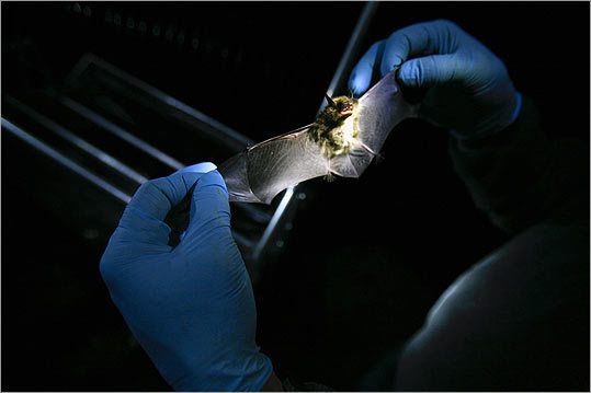 Kunz examines a bat from Aeolus Cave, the largest bat hibernaculum in the Northeast. The mass deaths are difficult to quantify because wild bats are almost impossible to count. But population tallies at two dozen winter colonies in Massachusetts, New York, and Vermont show the number of bats has plummeted from 48,626 to 2,695 -- an average 94.5 percent decline -- since the outbreak began in 2006.