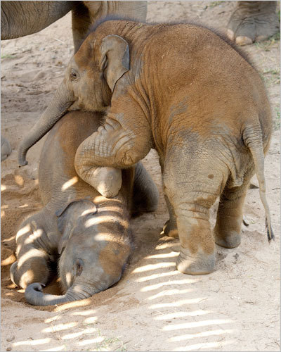 Baby elephants are 'naughty,' say the staff at the park. They're constantly pushing and shoving, rolling around, and making trouble -- in the cutest possible way.